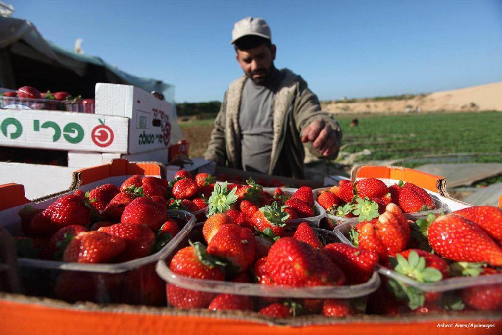 Se necesitan 11.990 personas para empleos en la recogida de la fresa en Huelva